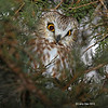 Saw Whet Owl - peaking out from limbs - Boone County 1/6/2012