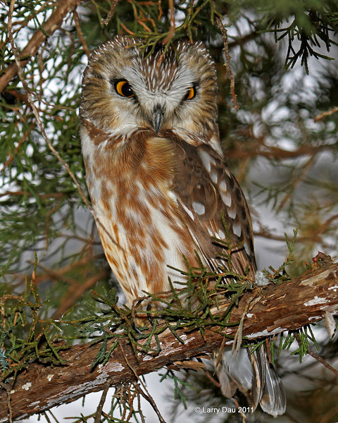 Saw Whet Owl - Boone County 1/6/2012