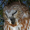 Saw Whet Owl sequence - close up pellet coming out of mouth