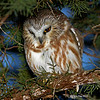 Saw Whet Owl sequence - regurgitating a pellet photo 1 - a rare photo to catch