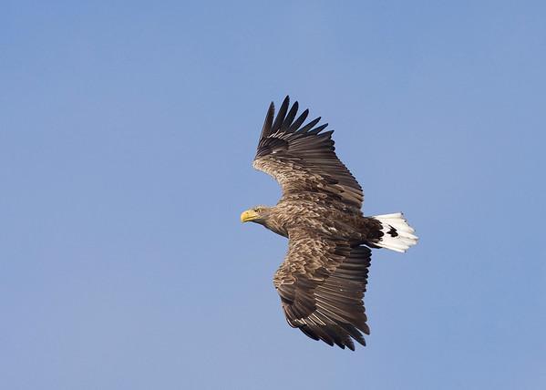 Sea eagles Poland