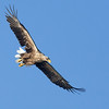 Sea eagle (Haliaeetus albicilla) - zeearend - adult bird