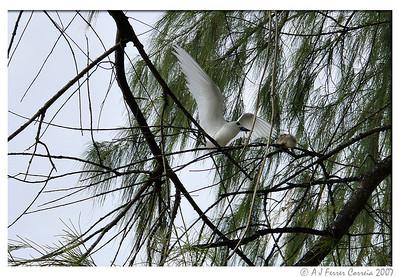 Fairy tern (Gygis alba) - adult feeding chick