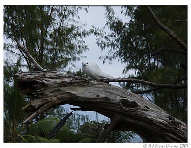Fairy tern juvenile (Gygis alba)