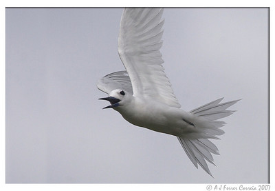 Seychelles Birds - Fairy Terns