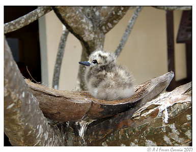 Fairy tern chick (Gygis alba)