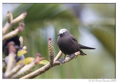 Lesser noddy (Anous tenuirostris): fledgeling (Brown noddy ?)