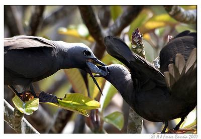 Lesser noddy (Anous tenuirostris): parent feeding fledgeling (Brown noddy ?)