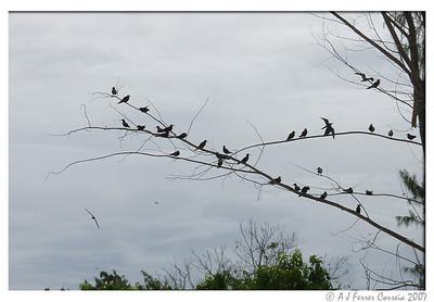 Bird Island, Seychelles: roosting noddies (brown ?)