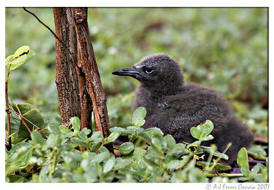 Brown noddy (Anous stolidus) - chick