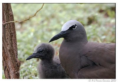 Brown noddy (Anous stolidus) - mother and chick