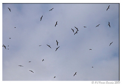 Frigate birds flying over Bird Island