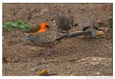 Ground dove - Geopelia striata