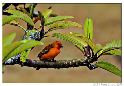 Seychelles Birds - land birds and others