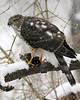 Sharp-Shinned Hawk 12-31-08 057_filteredps