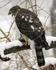 Sharp-Shinned Hawk 12-31-08 031_filteredps