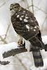 Sharp-Shinned Hawk 12-31-08 151_filteredps