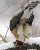 Sharp-Shinned Hawk 12-31-08 192_filteredps