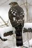Sharp-Shinned Hawk 12-31-08 212_filteredps