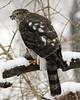 Sharp-Shinned Hawk 12-31-08 030_filteredps