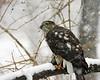 Sharp-Shinned Hawk 12-31-08 015_filteredps