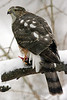 Sharp-Shinned Hawk 12-31-08 204_filteredps