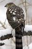 Sharp-Shinned Hawk 12-31-08 199_filteredps
