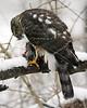 Sharp-Shinned Hawk 12-31-08 049_filteredps