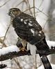 Sharp-Shinned Hawk 12-31-08 019_filteredps