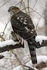 Sharp-Shinned Hawk 12-31-08 006_filteredps