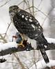 Sharp-Shinned Hawk 12-31-08 042_filteredps