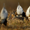 The view a female Sharp-tailed Grouse sees when visiting the Lek during mating season - 5/8/13