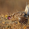 Male Sharp-tailed Grouse vocalizing as he displays 5/8/13