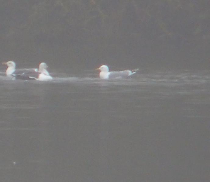 Caspian Gull, Calvert BBOWT 2012