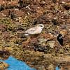 NZ plover