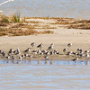 red knots, bar-tailed godwits