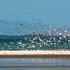 bar-tailed godwits, south island oystercatchers, black-billed gulls