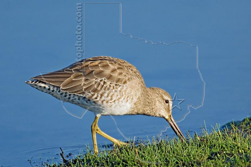 Short-billed Dowitcher<br /> Brazoria National Wildlife Refuge, Texas