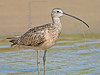 Long-billed Curlew,<br /> Bolivar Flats, Texas