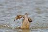 Marbled Godwit, Bathing,<br /> East Beach, Galveston, Texas
