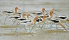 American Avocets,<br /> Bolivar Flats, Texas