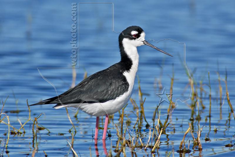 Black-necked Stilt,<br /> Brazoria National Wildlife Refuge, Texas
