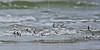 Sanderlings, Flight,<br /> East Beach, Galveston, Texas