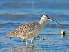 Long-Billed Curlew,<br /> Brazoria National Wildlife Refuge,