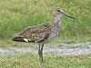 Willet,<br /> Brazoria National Wildlife Refuge, Texas