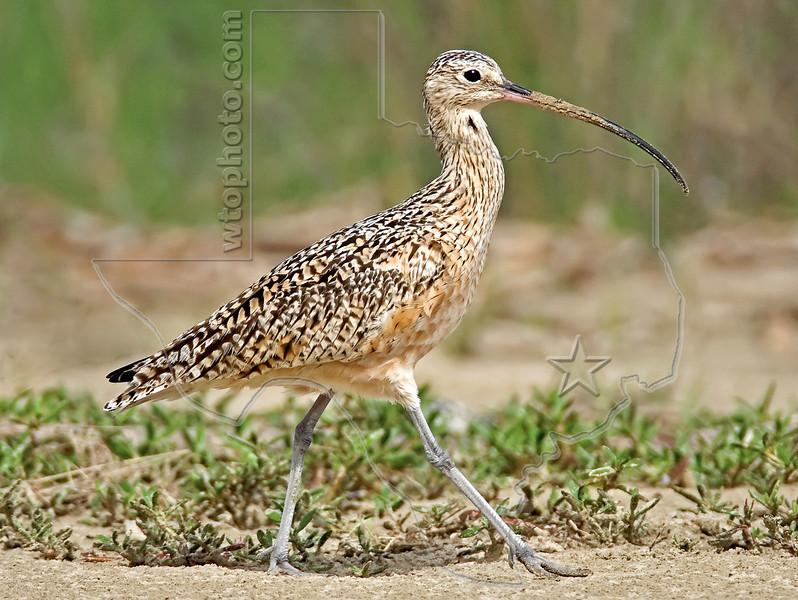 Long-billed Curlew,<br /> Bolivar Flats, Texas