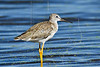 Greater Yellowlegs,<br /> Brazoria National Wildlife Refuge, Texas