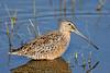 Long-billed Dowitcher,<br /> Lafitte's Cove Nature Preserve, Galveston,Texas