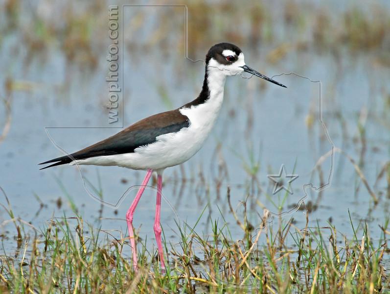 Black-necked Stilt,<br /> Brazoria National Wildlife Refuge