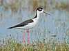 Black-necked Stilt,<br /> Brazoria National Wildlife Refuge